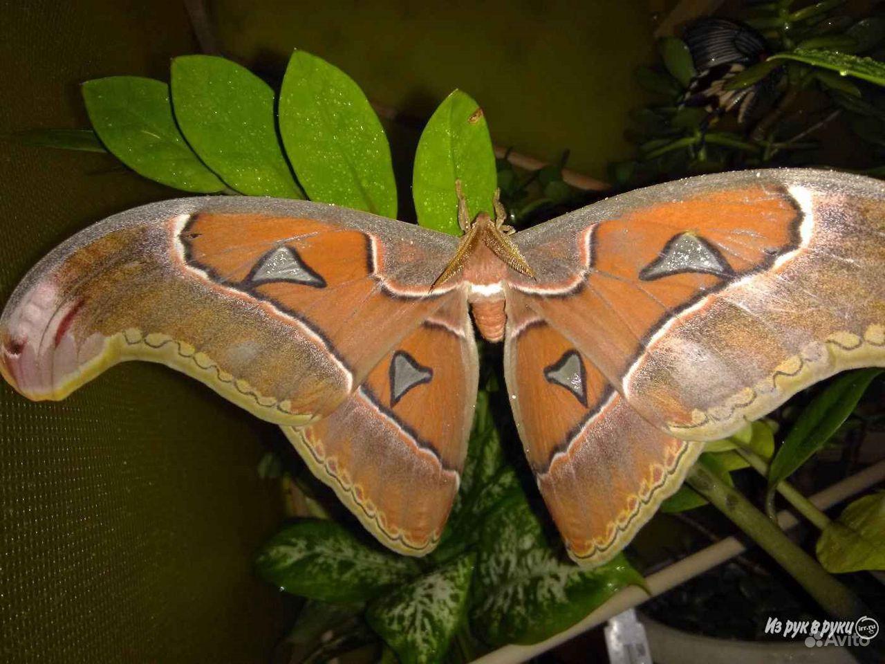 Живые Тропические бабочки Сова Андромеда - фотография № 9