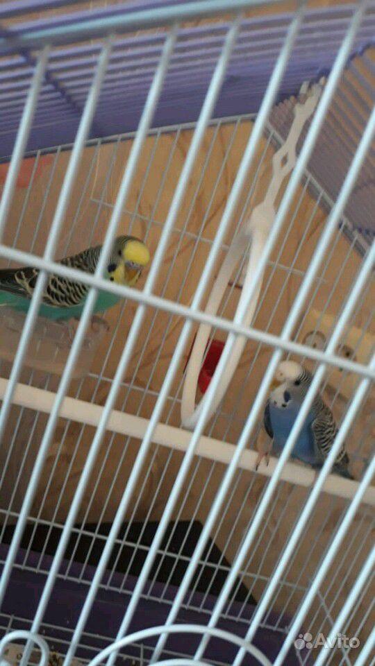 Волнистые попугайчики и клетка
