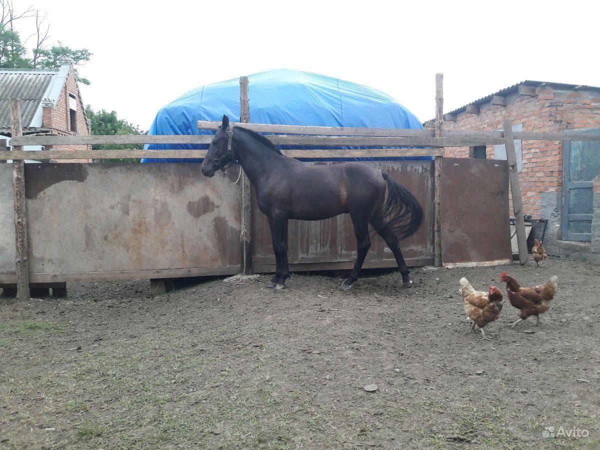 Жеребец карачаевский с характером 2 года без торга