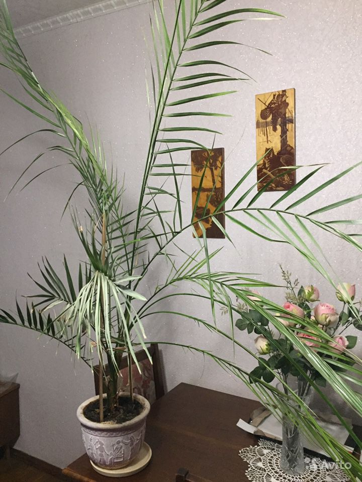 Финиковая пальма купить на Зозу.ру - фотография № 2