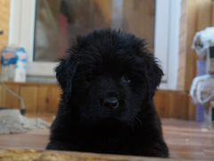 Взять щенка на авито в новосибирске