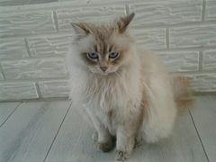 Кот.Порода Невская Маскарадная