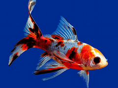 Золотая рыбка комета (для пруда)