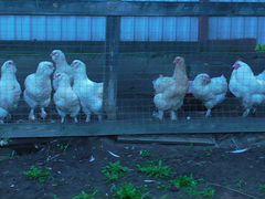 Цыплята 4 мес и куры 11 мес