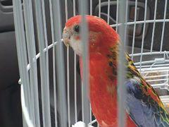 Попугай - красная розелла