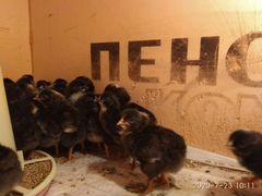 Цыплята доминант Д109 суточные