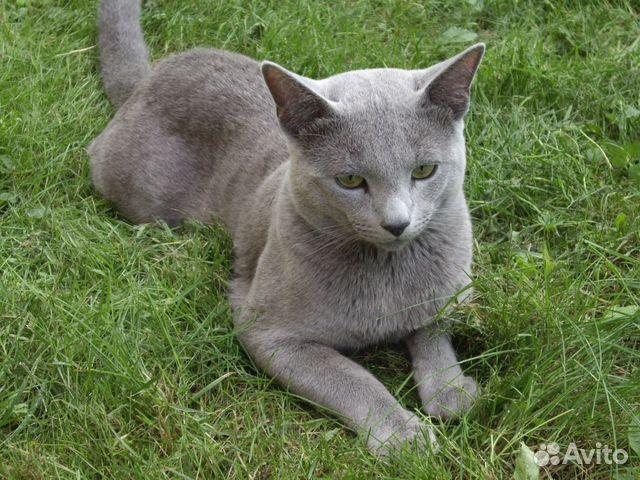 Котята действительно Русской Голубой. Элита - купить, продать или HA76