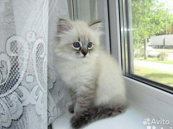 Невская маскарадная кошка: фото, цены, описание породы ...