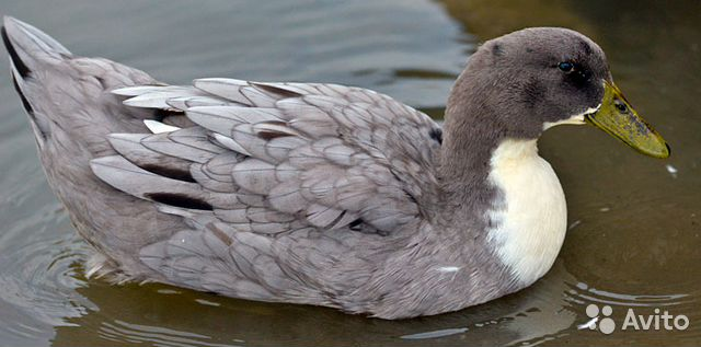 blue duck essay
