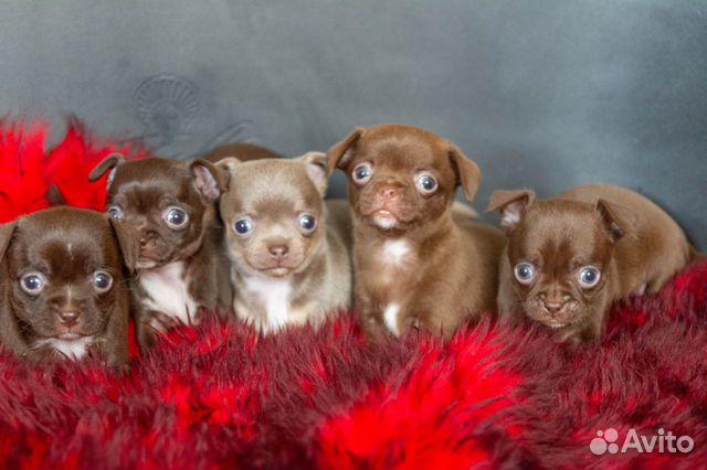 Гладкошёрстные щенки чихуахуа купить на Зозу.ру - фотография № 1