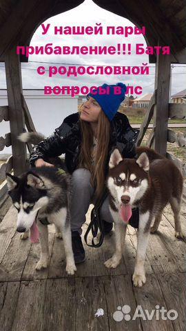 Щенки хаски купить на Зозу.ру - фотография № 1