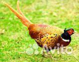 Продам фазанов. Самцы охотничьего и румынского