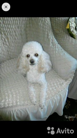 Toy poodle 89521893030 buy 1