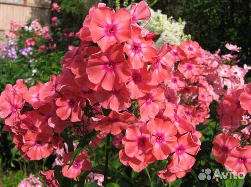 Флоксы и цветы рядом