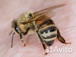 Пчелы для aпитepапии  89134716721 купить 1
