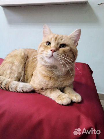 Гриша молодой шикарный рыжий кот  89173718564 купить 1