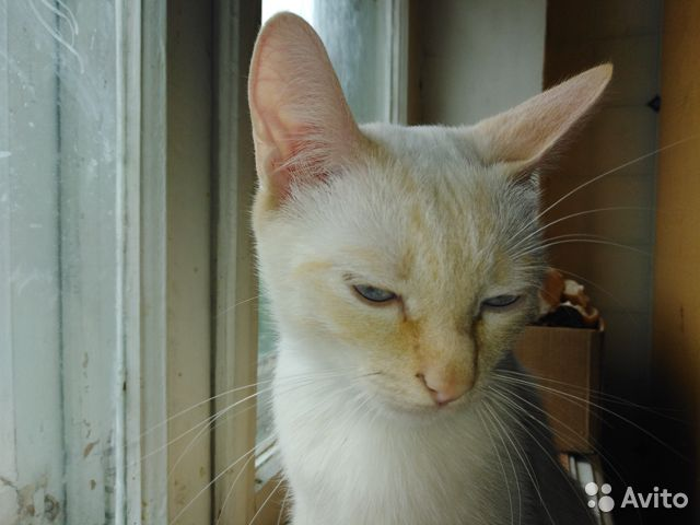 Сиамская кошка окрас ред-пойнт в добрые руки  89623042671 купить 6