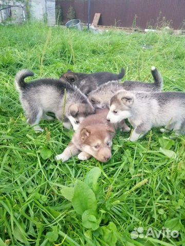 Аляскинский Маламут  89242255034 купить 8