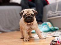 Элитный щенок