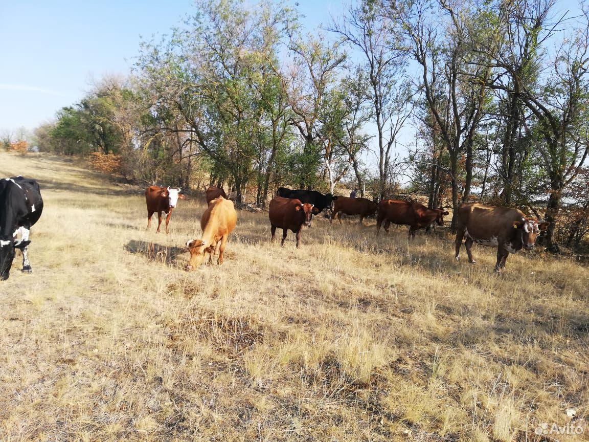 Коровы  89187812497 купить 3