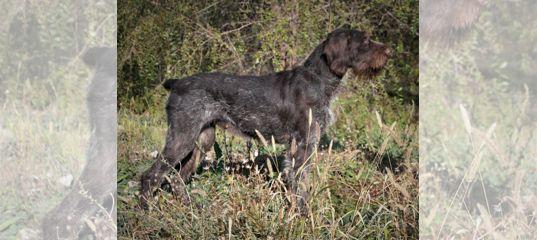 Сука породы Дратхаар подготовленная к охоте купить в Ростовской области | Животные и зоотовары | Авито