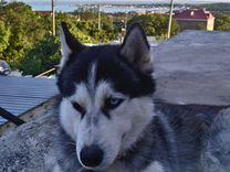 Пропал хаски — Собаки в Геленджике