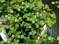 Комнатное растение Пелея ливанская