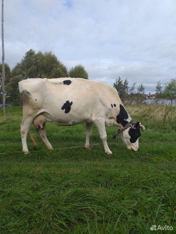 Корова  89092712355 купить 1