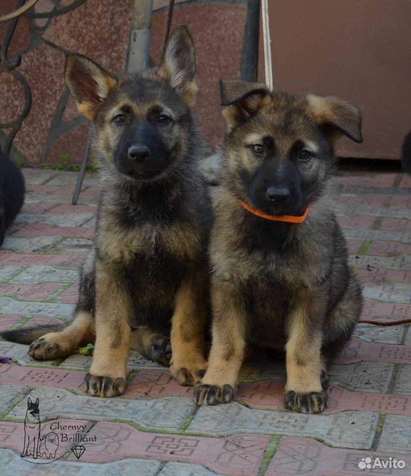 Немецкие овчарки  89514876465 купить 2