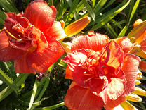 Лилейники - конкуренты розам — Растения в Саратове