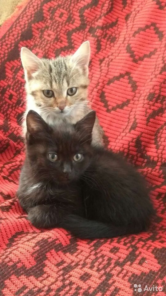 Кошка  89068483823 купить 1