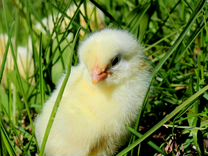 Суточные цыплята Кобб 500