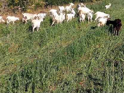Продам Заанинских коз + молоко